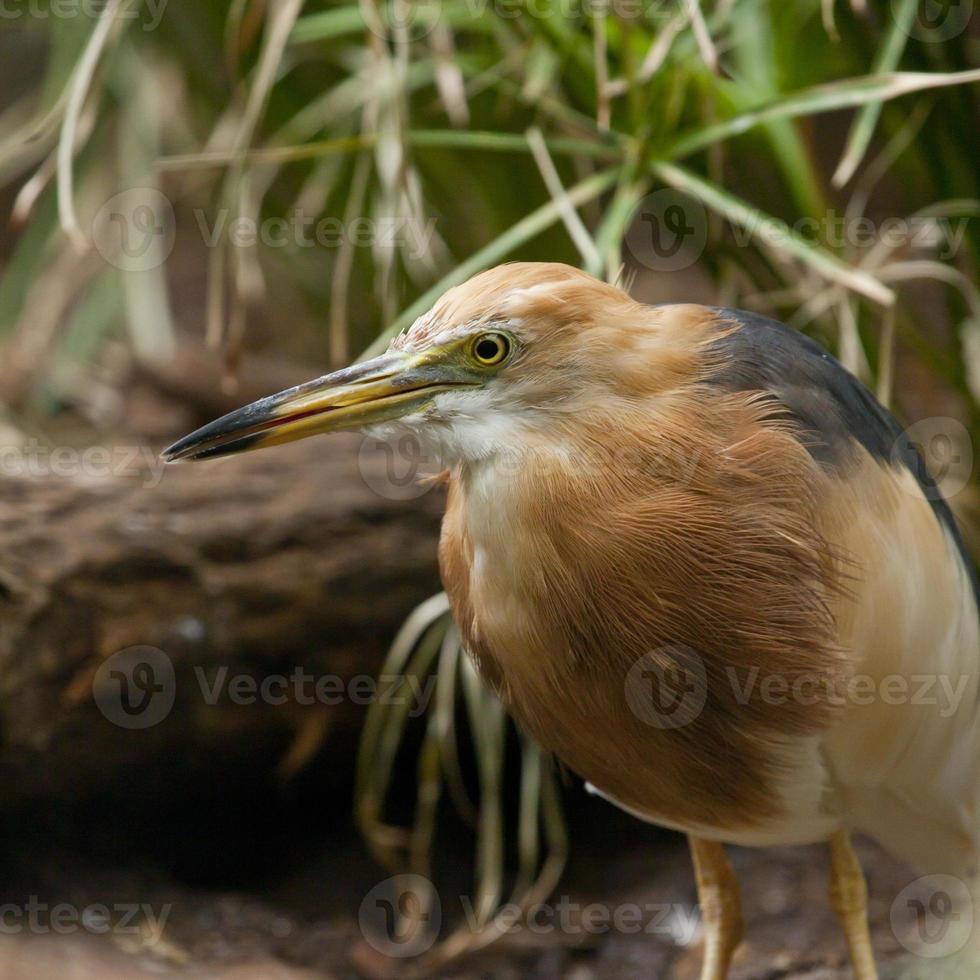 Garza de estanque de Java foto