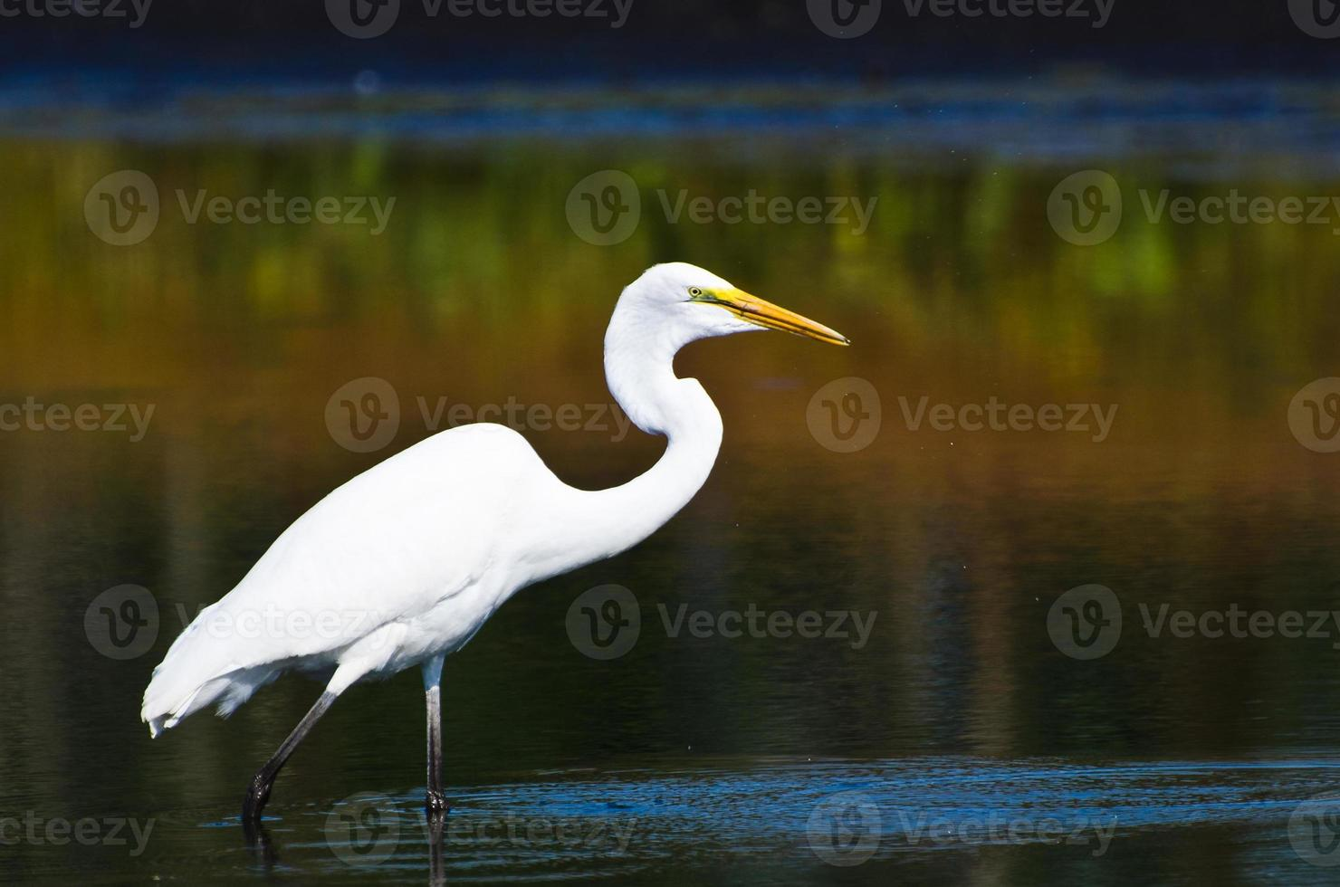 Great Egret Hunting for Fish in Autumn photo