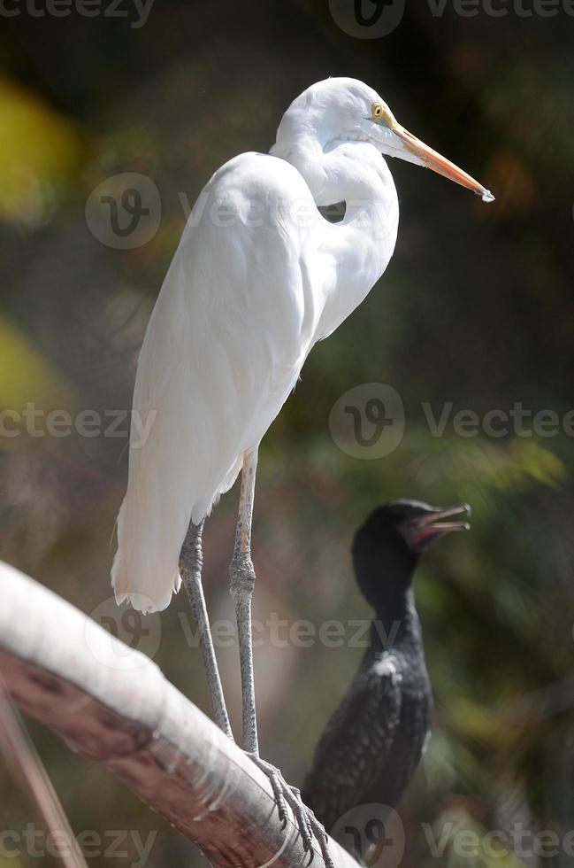 Egret bird photo
