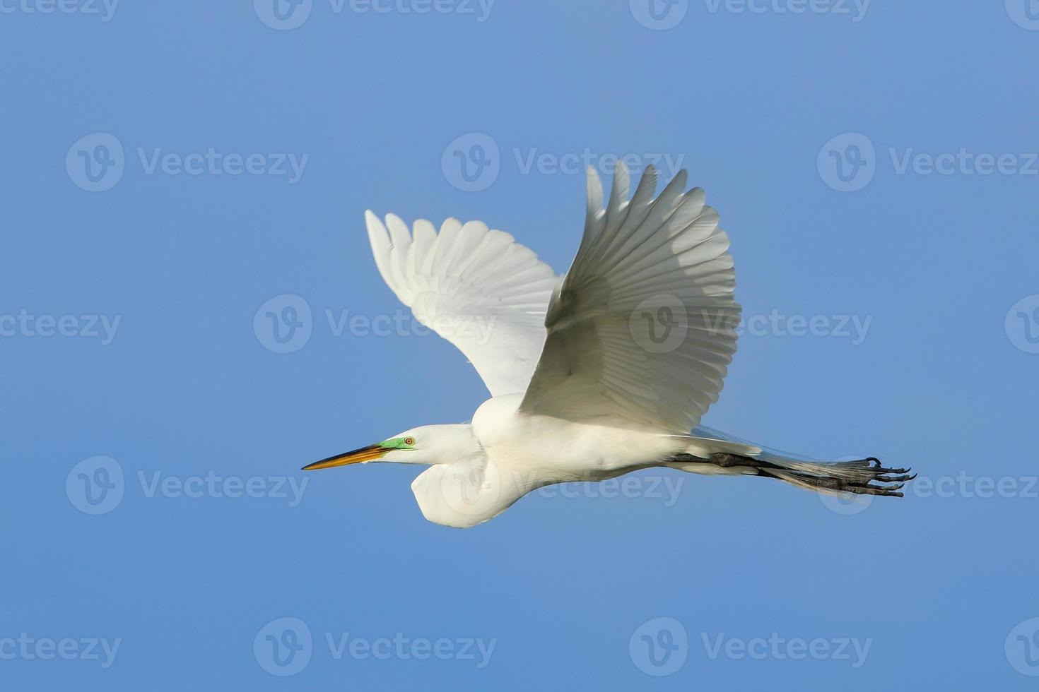 Great egret flying in blue sky photo