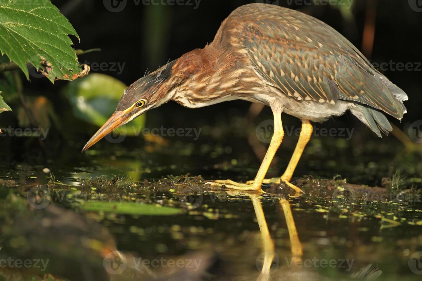 Juvenile Green Heron Stalking its Prey photo