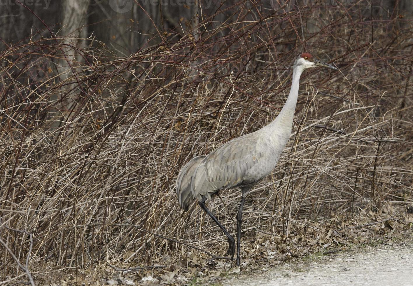 Sandhill Crane en Ohio foto