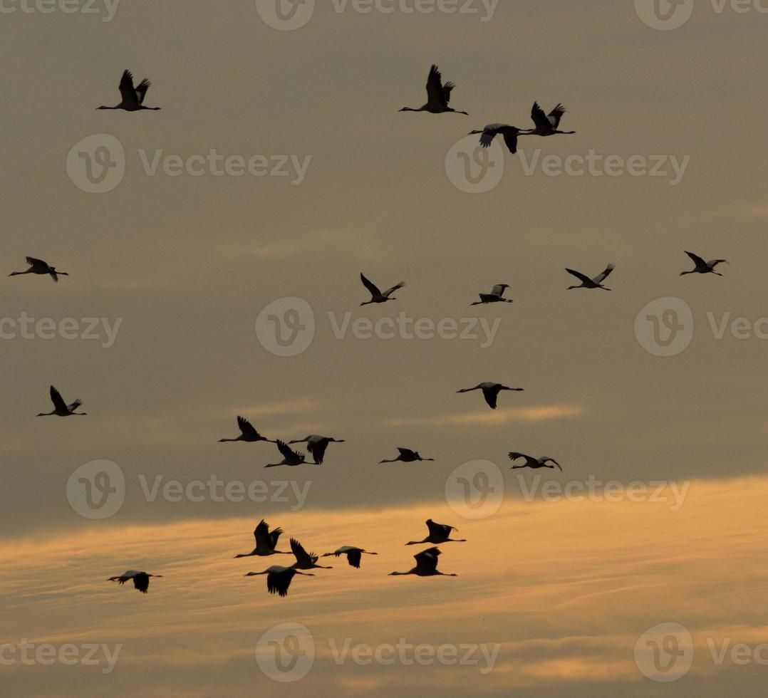 Eurasian cranes photo