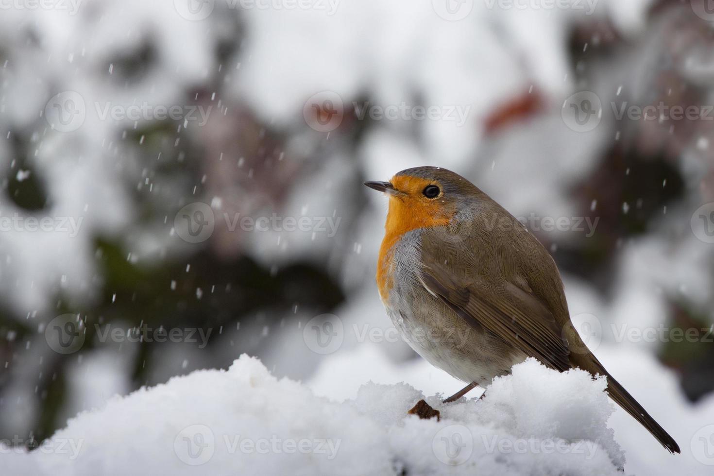 Robin bajo la nieve foto