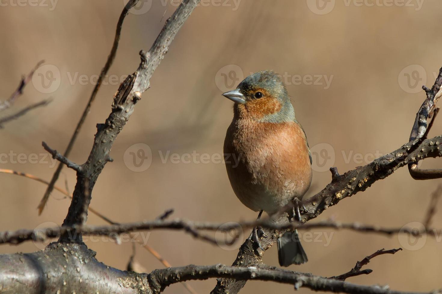 Chaffinch sitting on branch photo
