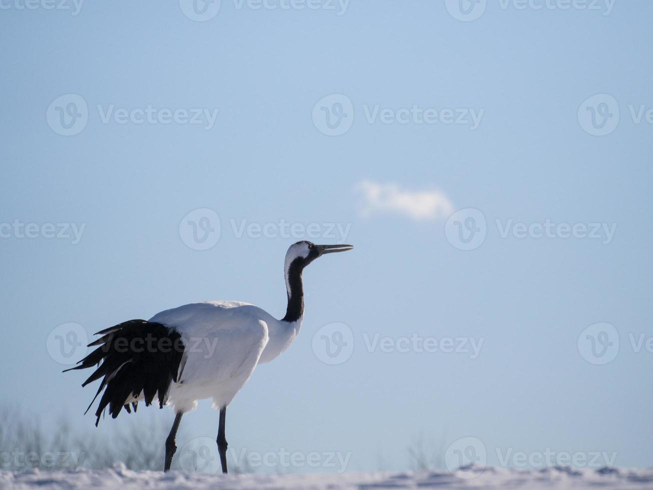 grulla blanca mirando al cielo, foto