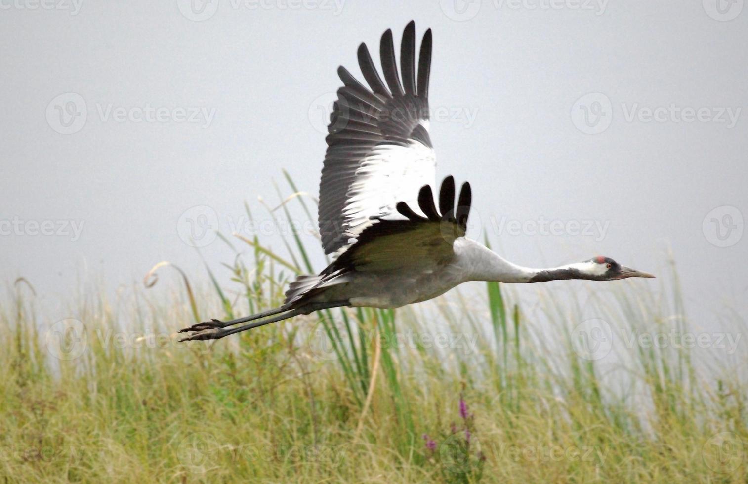 grúa común volando bajo foto