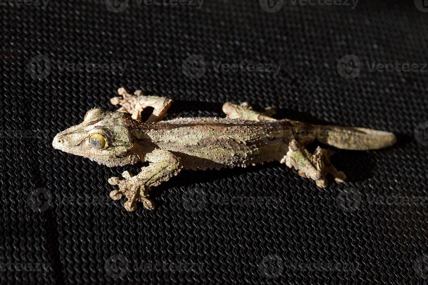 gecko negro foto