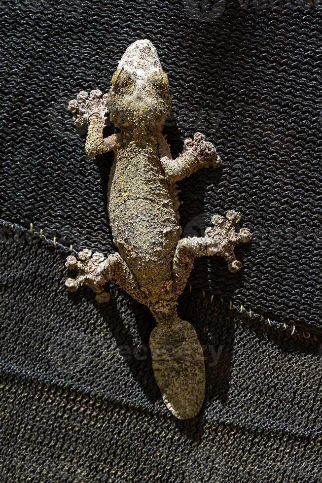 Leaf-tailed gecko on black photo