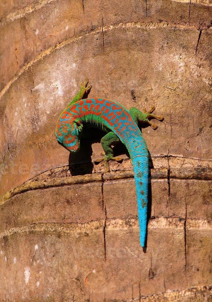 Day gecko photo