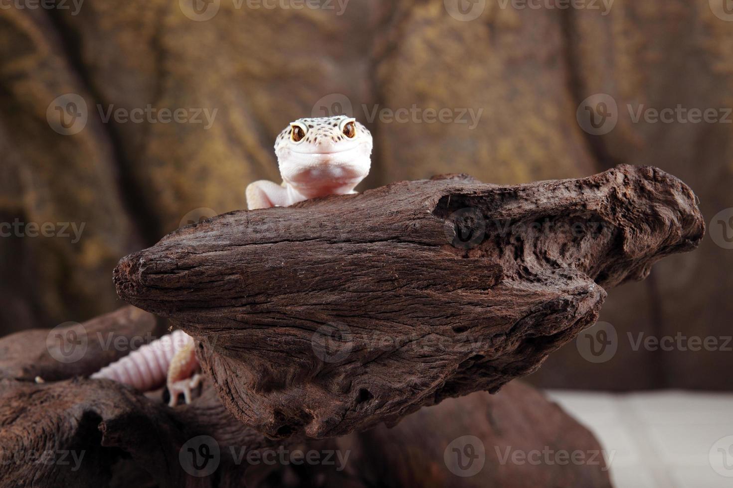 gecko leopardo foto