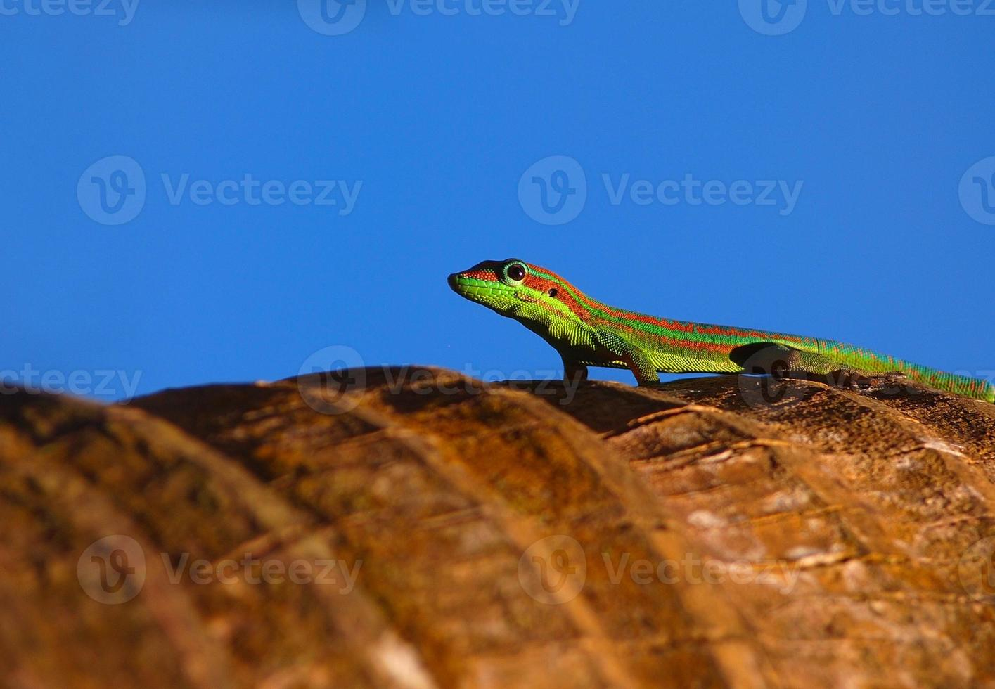 Gecko en palmera foto