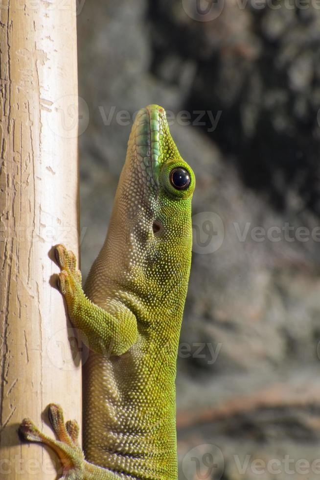 Gecko gigante del día de Koch (phelsuma madagascariensis kochi) foto