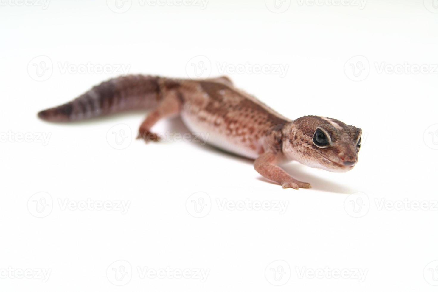 gecko leopardo en blanco foto