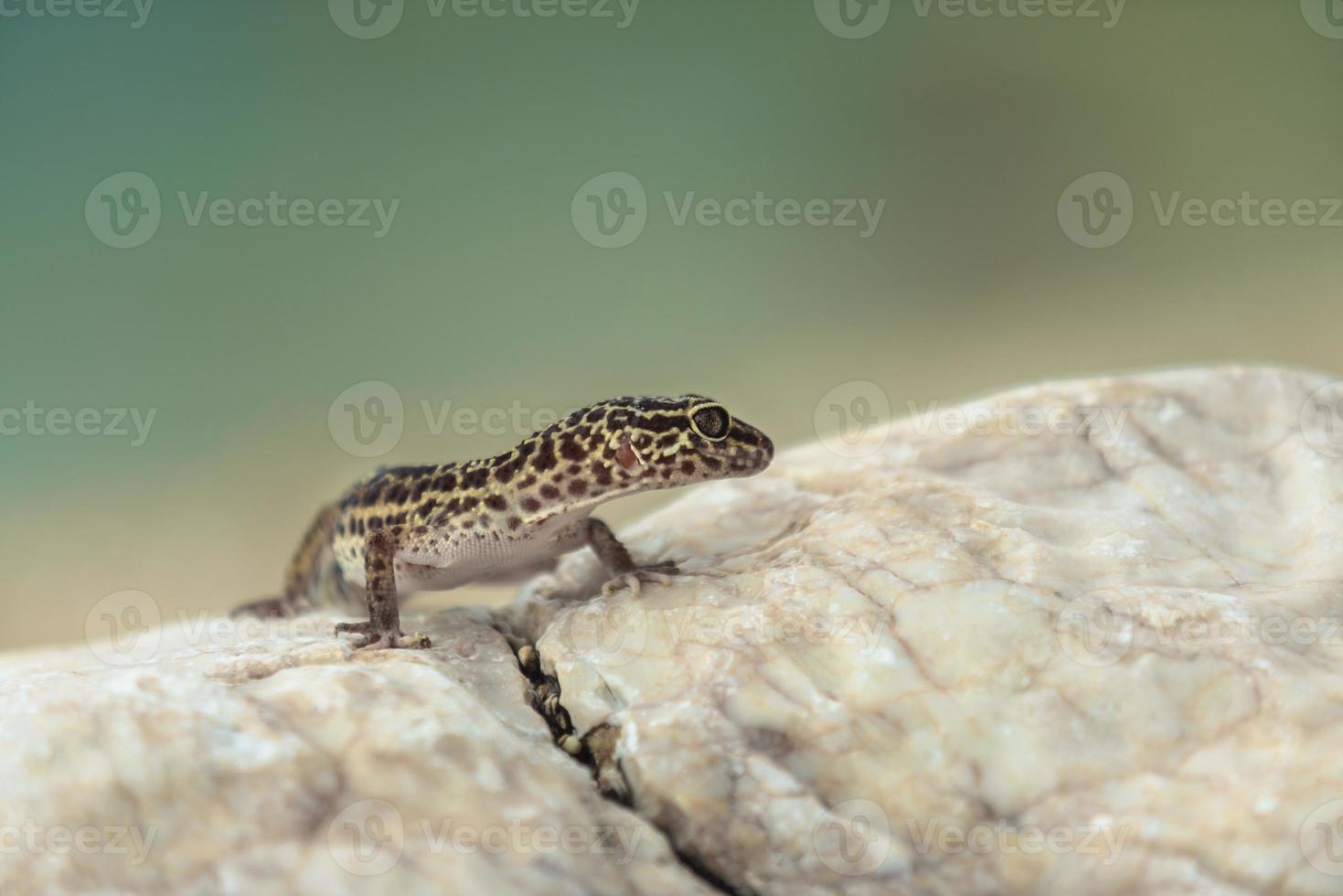 Gecko lizard on rocks photo