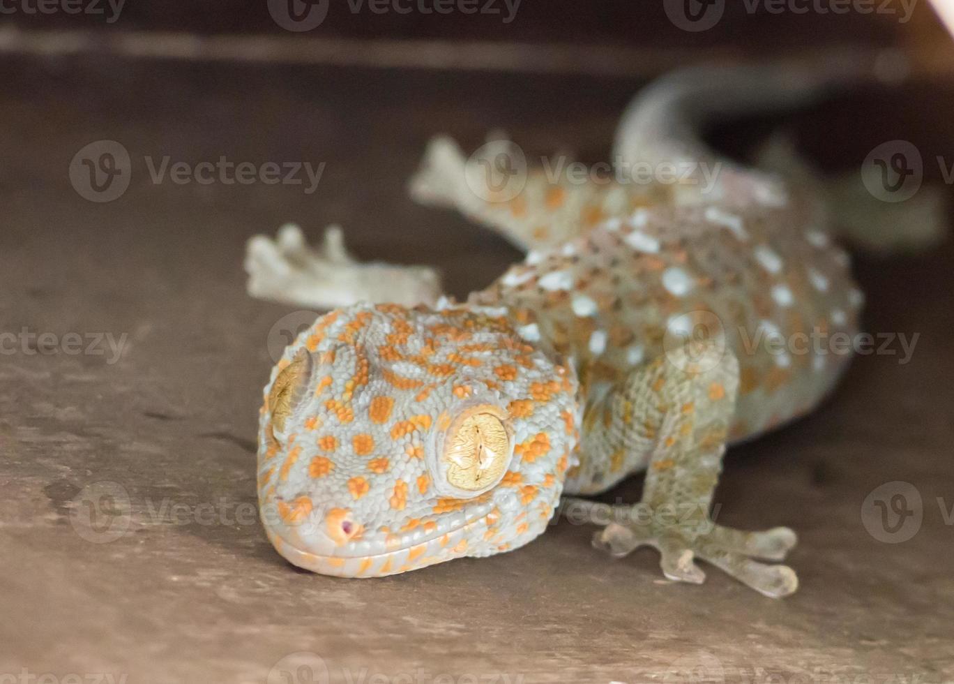 casa común gecko tropical escalada en pared foto