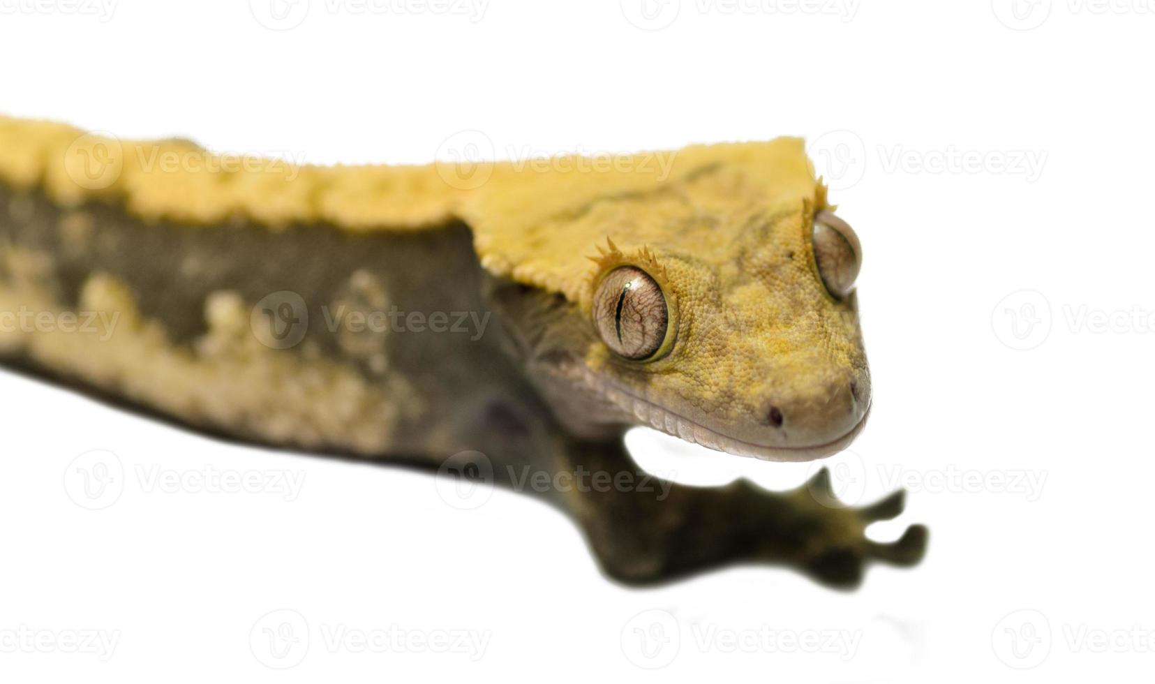 Lagarto crestado gecko aislado sobre fondo blanco. foto