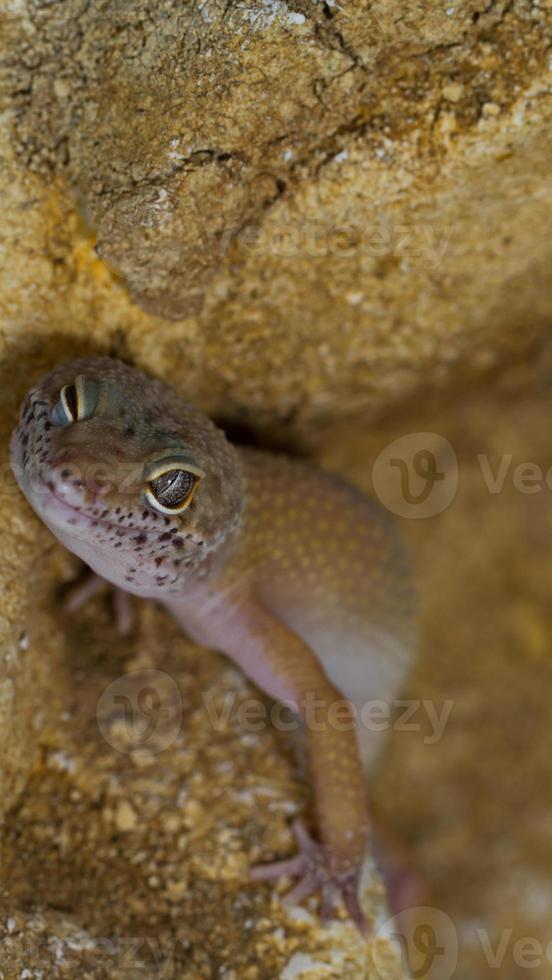 smiling leopard gecko on desert photo