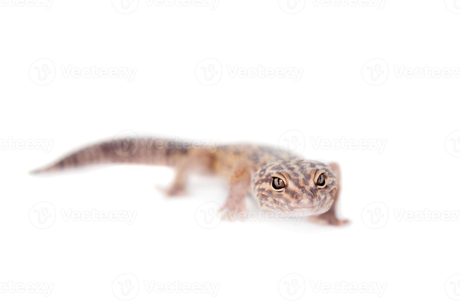 El gecko de cola gorda iraní aislado en blanco foto