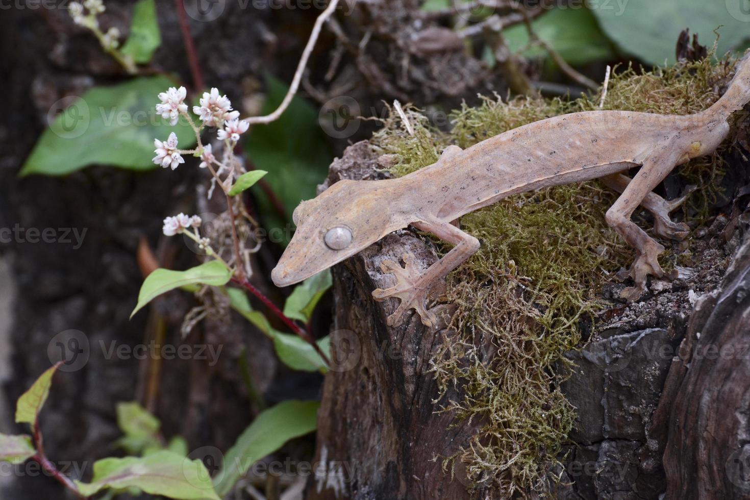 Gecko cola de hoja forrada (uroplatus), marozevo, madagascar foto
