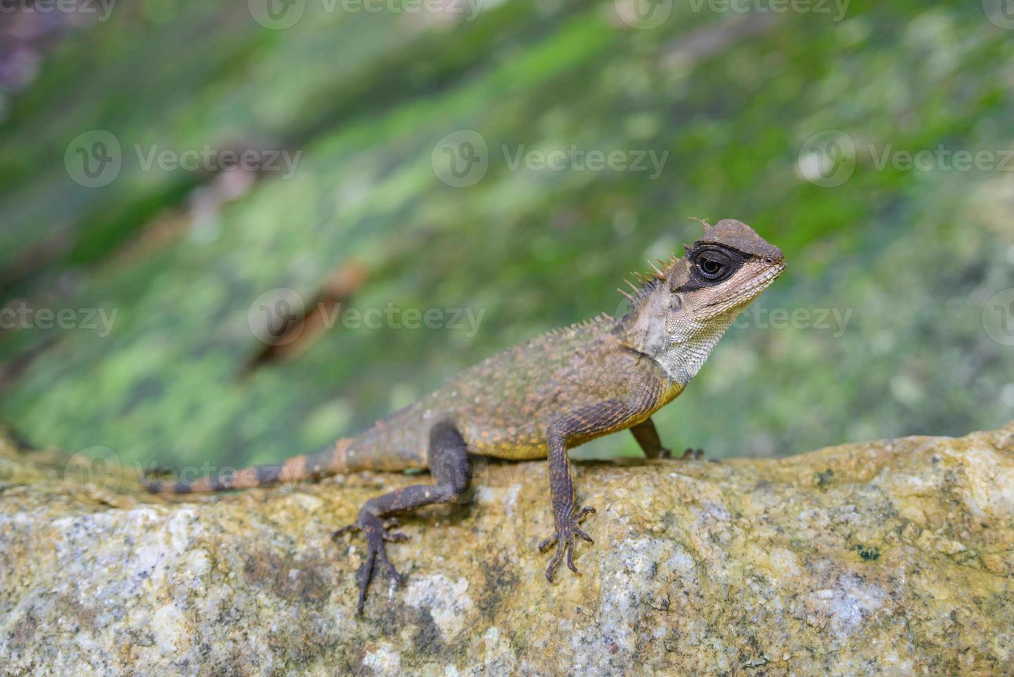 tipo de camaleón asiático en la roca, animal foto