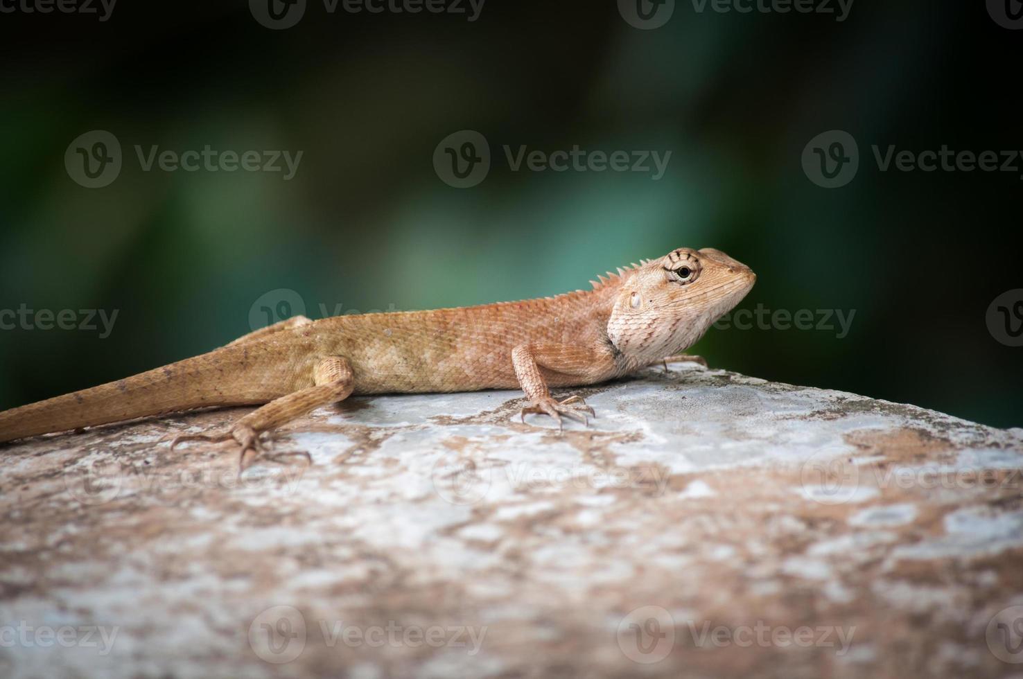 camaleón sobre piedra, enfoque suave foto