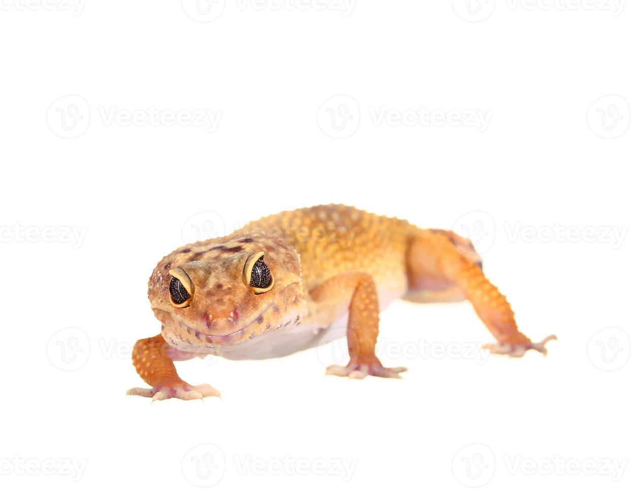 Gecko leopardo manchado amarillo y naranja sobre blanco foto