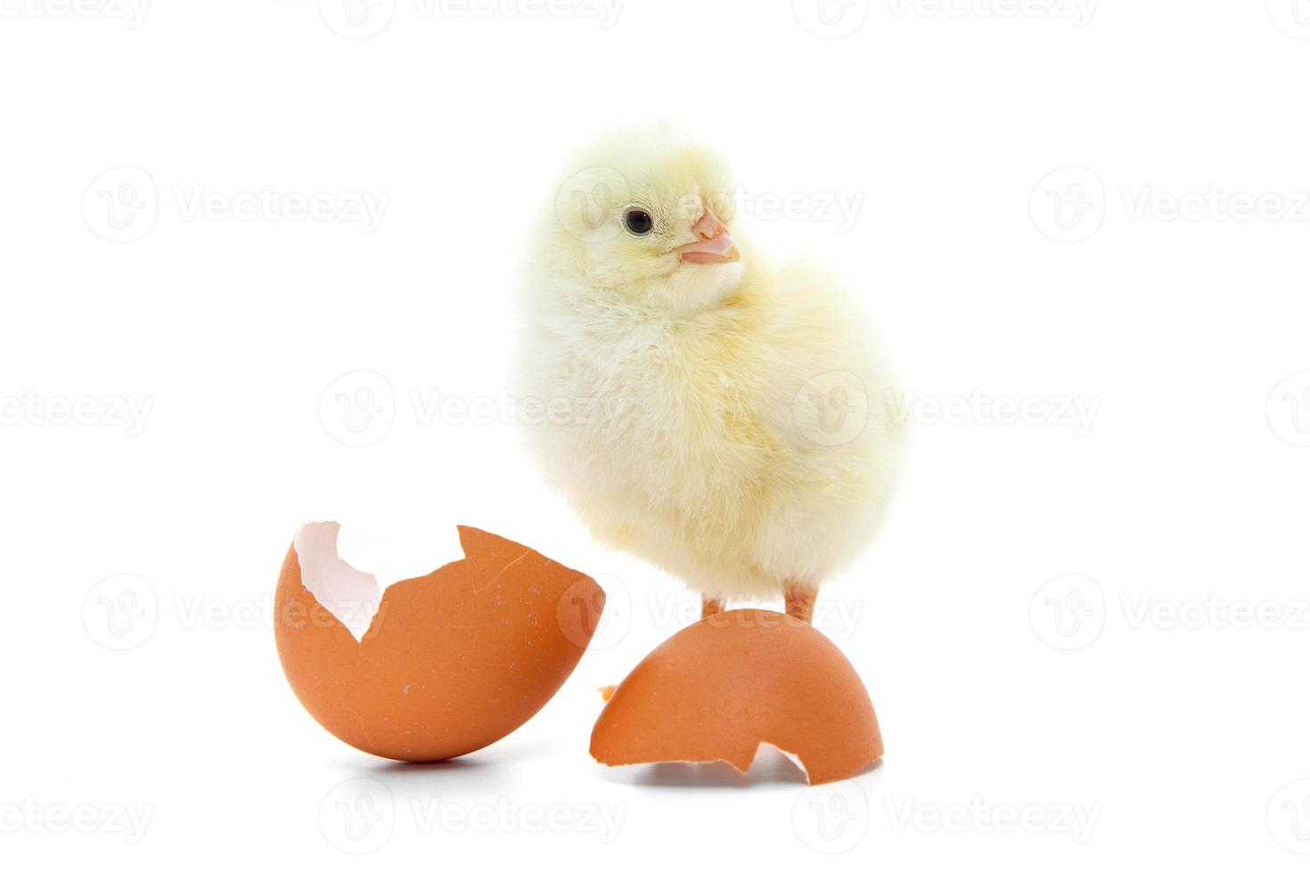 Cute little chick photo