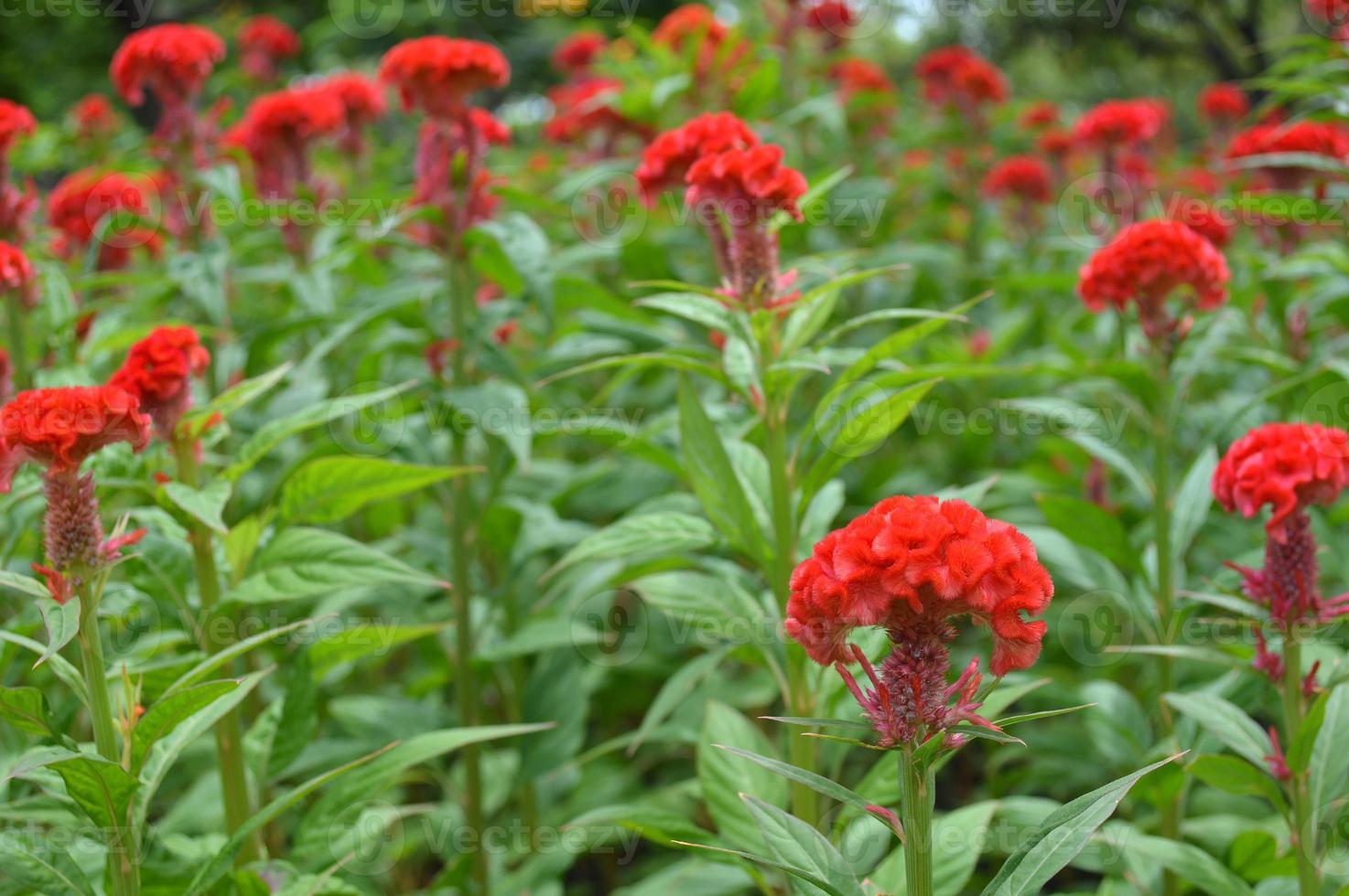 Red cockscomb flower photo