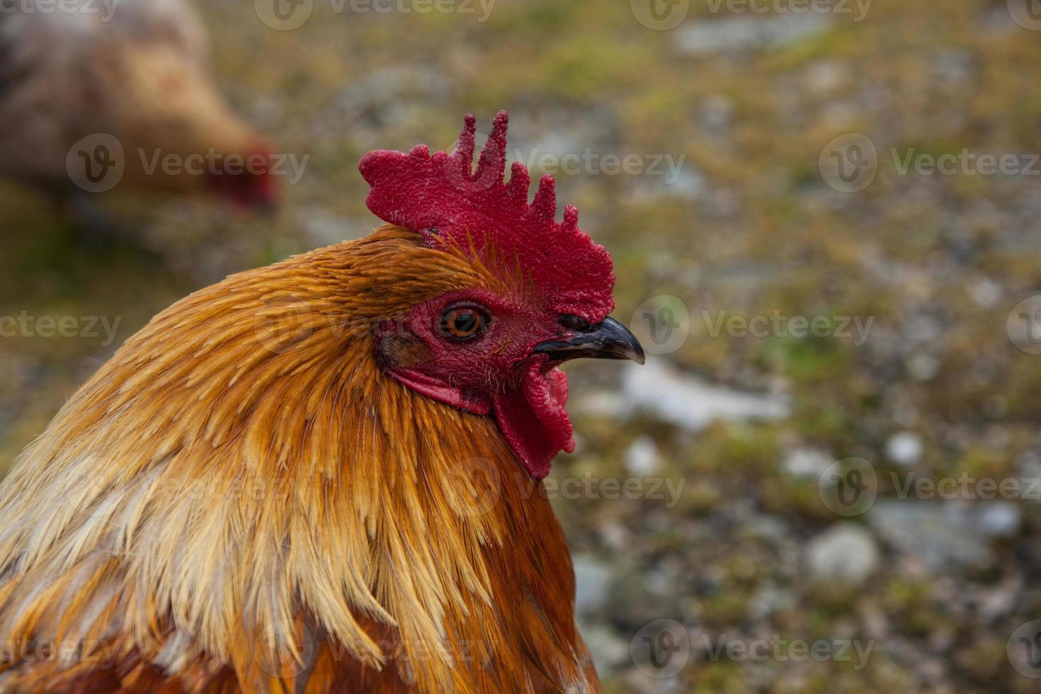 Cockerel on Isle of Arran photo