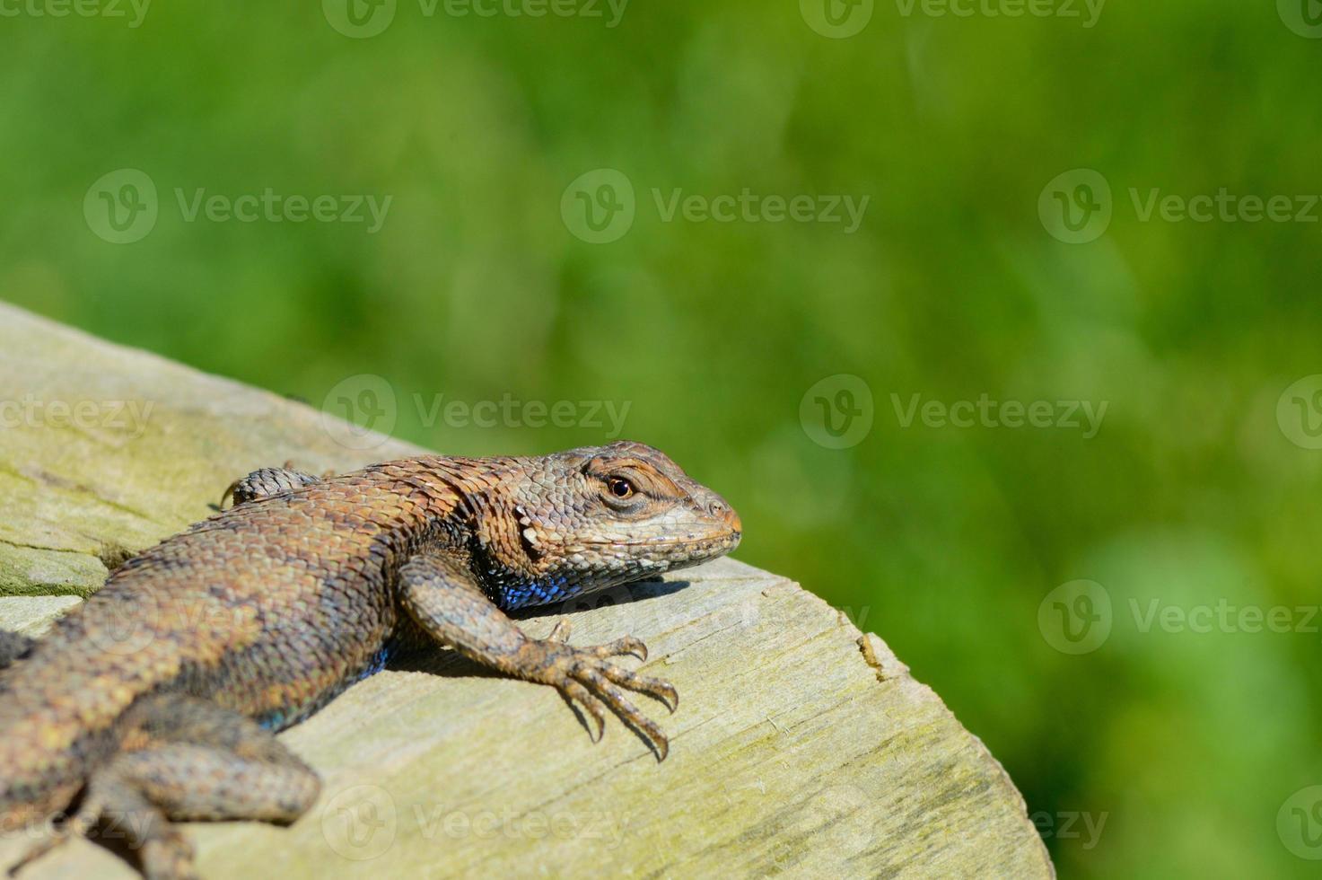 lagarto marrón tumbado al sol. foto