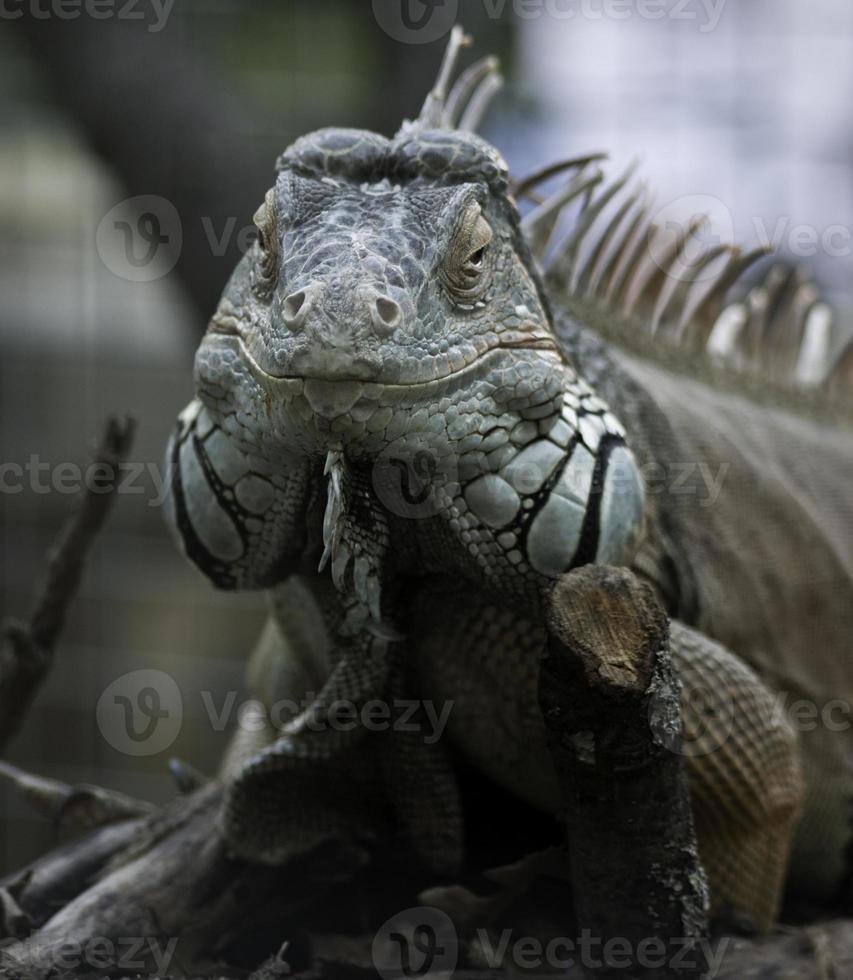 vista frontal de iguana verde foto
