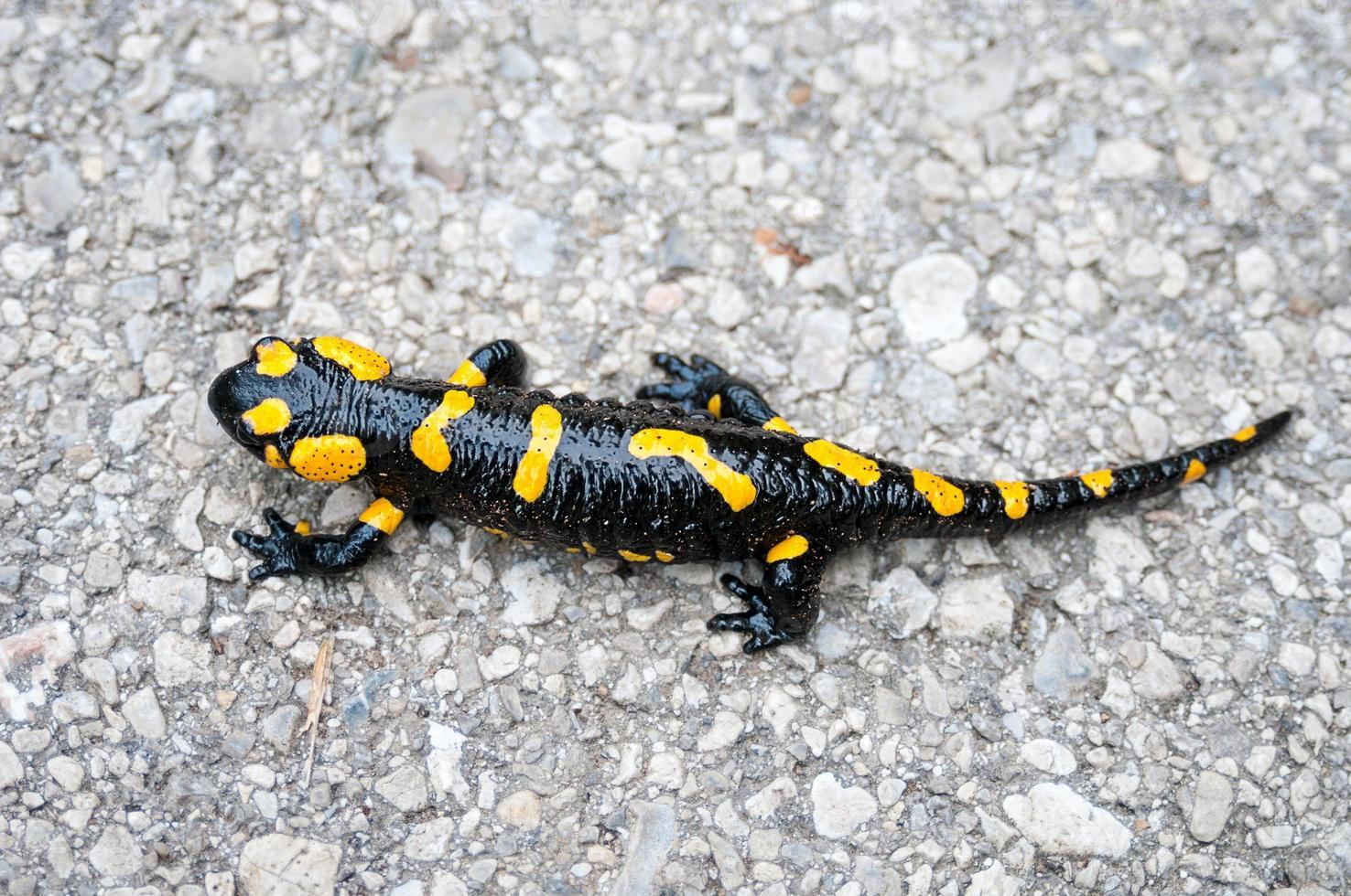 Fire salamander closeup photo