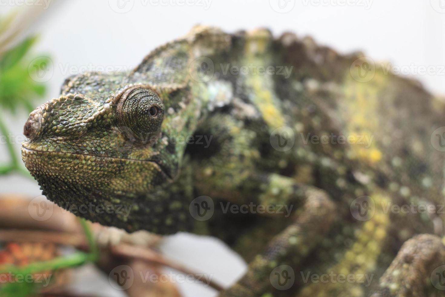 camaleón foto