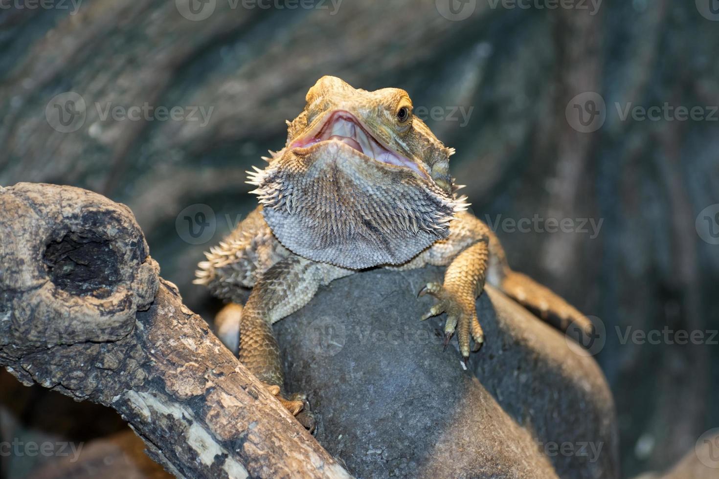 dragones barbudos del interior (pogona vitticeps) foto