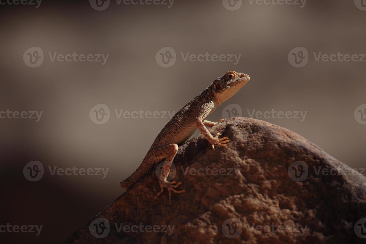 Reptilien in der Sahara photo