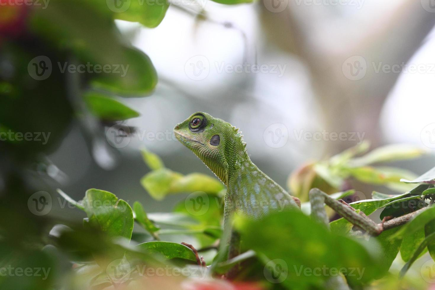 lagarto crestado verde buscando comida foto
