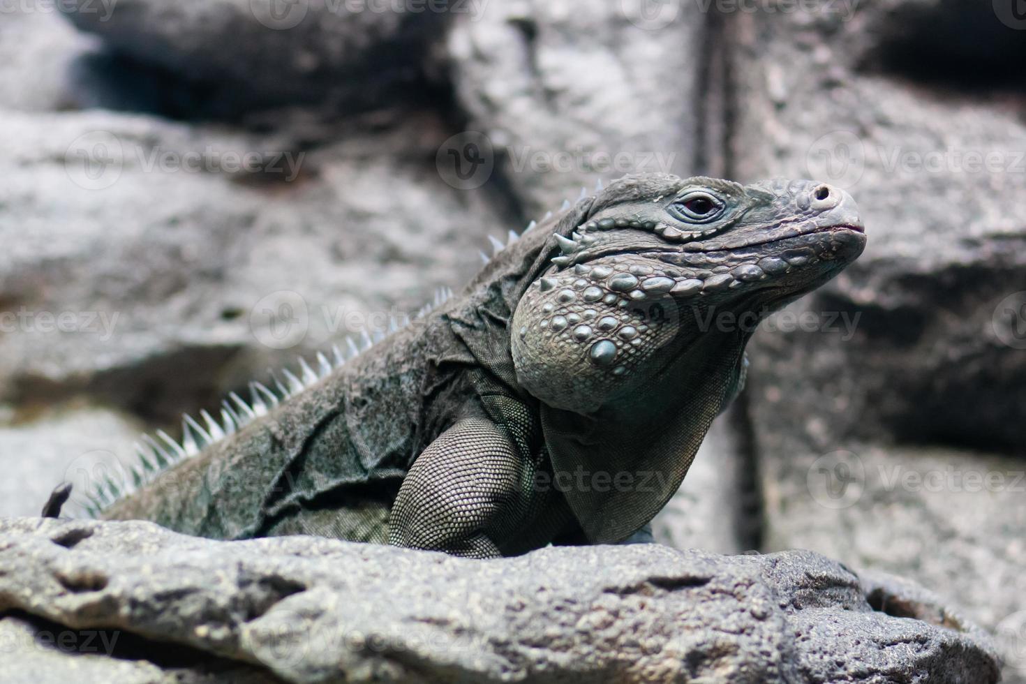 iguana mirando foto