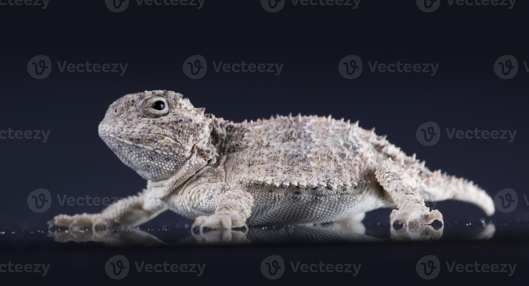 Short-horned lizard  (Phrynosoma platyrhinos)  on dark backgroun photo