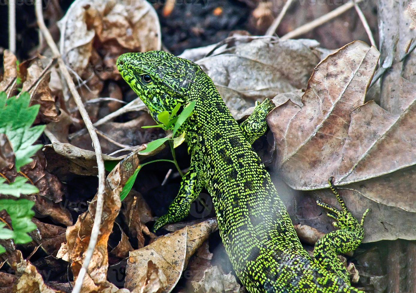 Green lizard of dry grass. photo