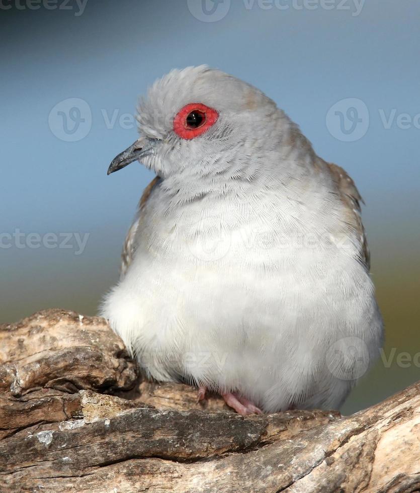 Diamond Dove Portrait photo