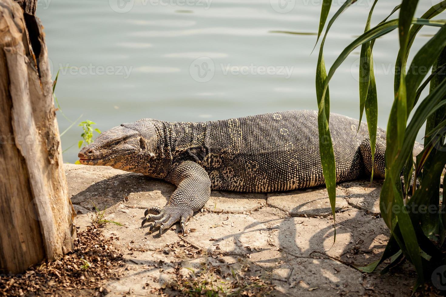 Beautiful monitor lizard inThailand photo