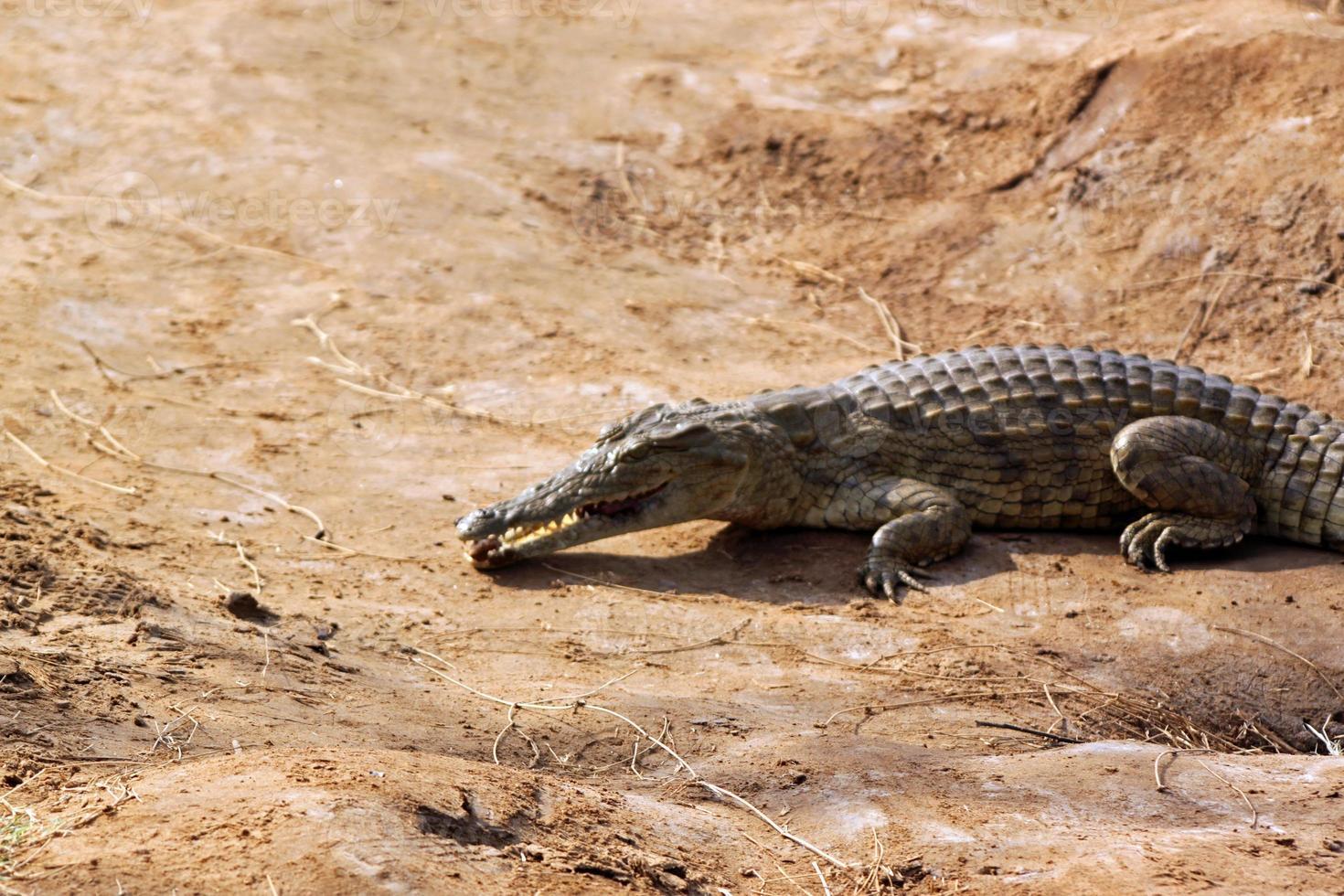 sabana de cocodrilos, tsavo east park en kenia foto