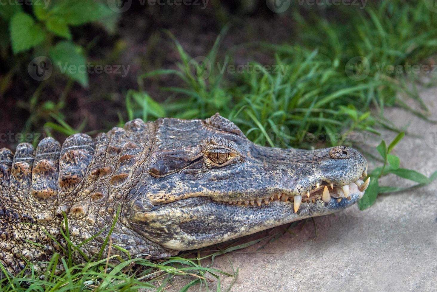 cocodrilo en reposo foto