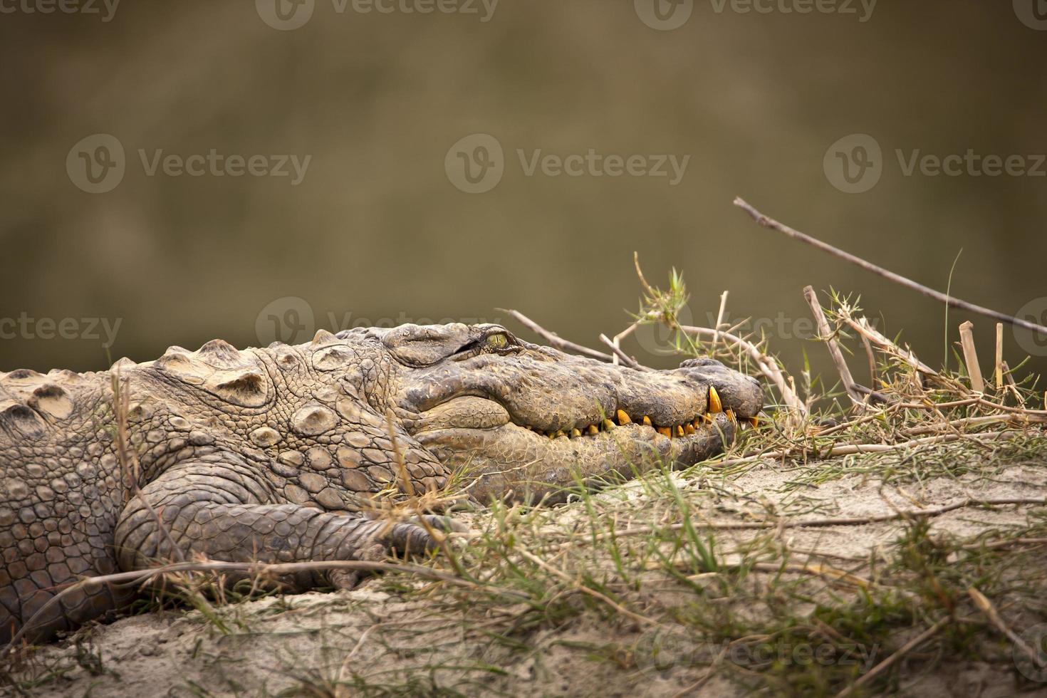 Mugger cocodrilo retrato especie crocodilus palustris, parque nacional de Bardia, Nepal foto