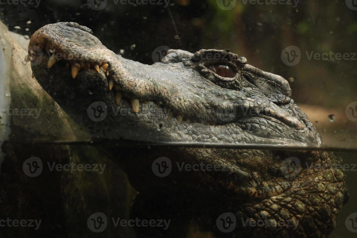 Caimán de frente liso (paleosuchus trigonatus). foto