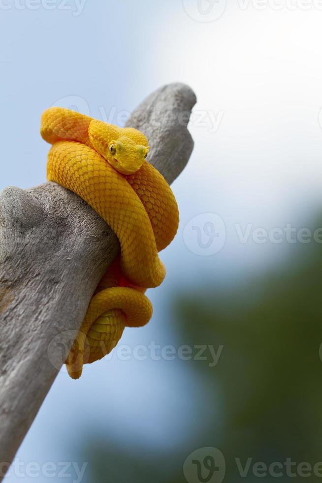 víbora de pestañas amarillas foto
