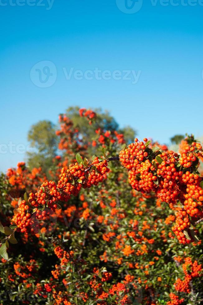 arbusto con bayas de naranja foto