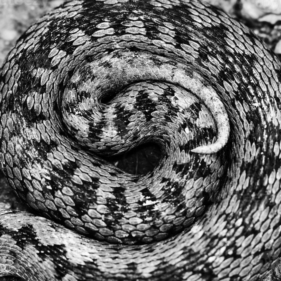 visión artística del patrón vipera berus foto