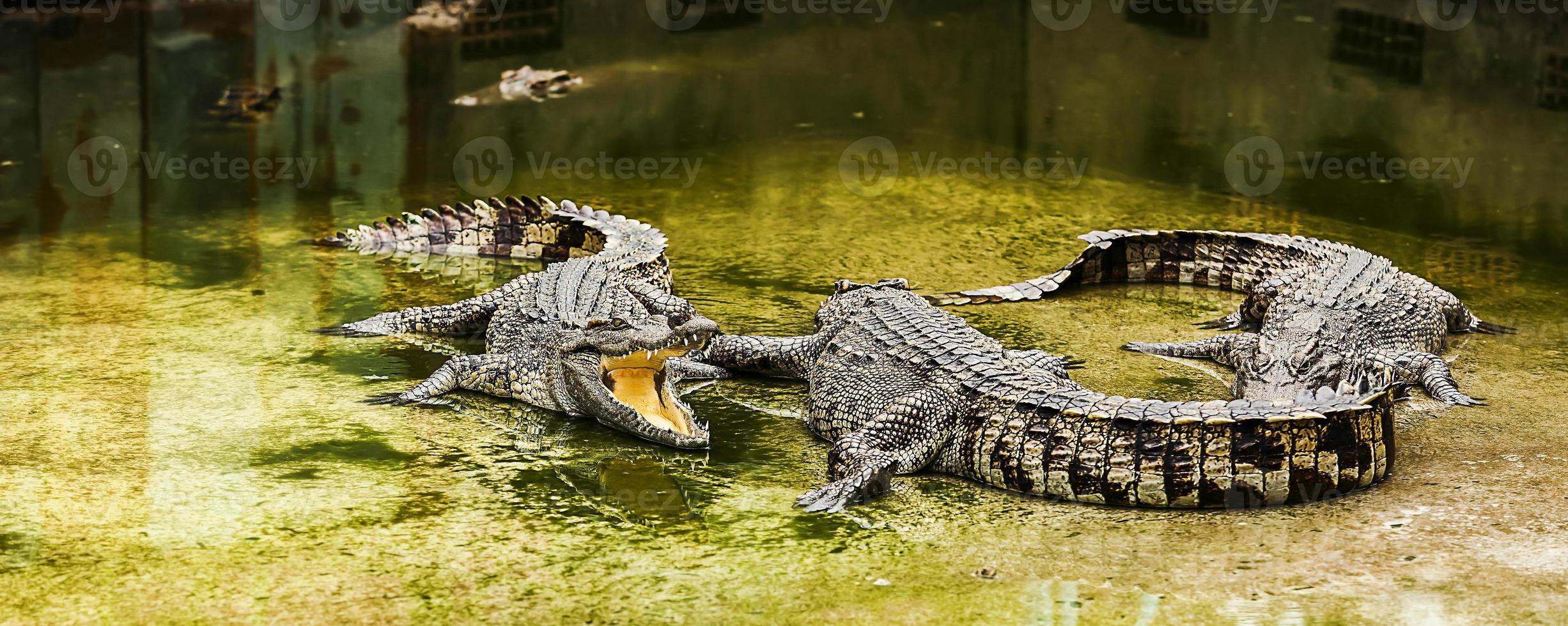 cocodrilo foto